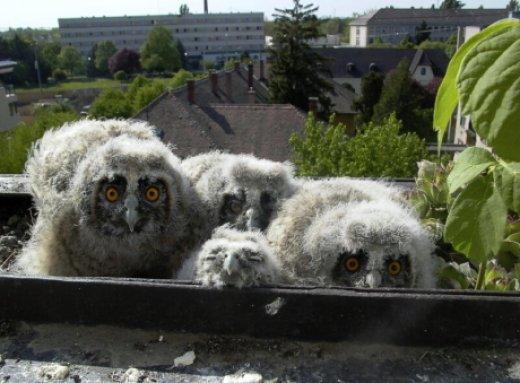 Erdei fülesbagoly balkonládában fejlődő fiókái (Fotó: Monoki Ákos)