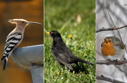 """Az MME """"Év madara program"""" 2015-re választható fajai: búbosbanka, fekete rigó és vörösbegy (Fotók: Orbán Zoltán)."""