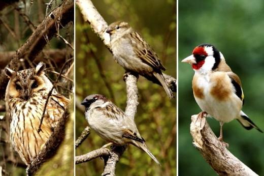 A 2017 év madara szavazás választható fajai: erdei fülesbagoly, házi veréb és tengelic (Fotók: Orbán Zoltán).