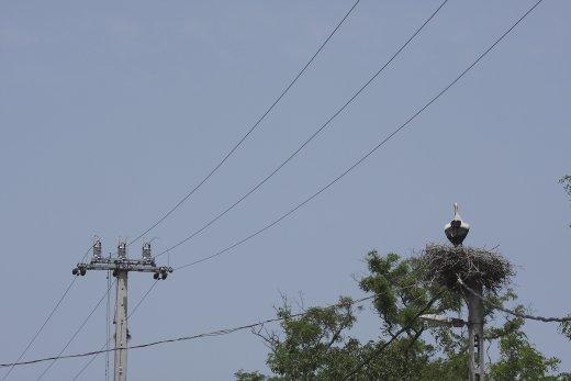Belterületeken az elektromos hálózat oszlopain fészkelő fehér gólyák óriási számban esnek áramütés áldozatául minden évben. A bejelentő űrlap célja jelentős részben ezeknek az eseteknek a csökkentése, megszüntetése (Fotó: Orbán Zoltán)