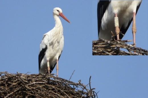 """A """"Fülöp"""" nevű fehér gólya (Fotó: Nagy Károly)."""