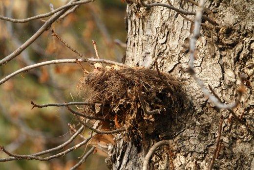 Augusztusra a fekete rigók fészkei is kiürülnek, a második költés fiókái is önállóvá válnak és az addig látványos madárvilág egyik napról a másikra kámforrá válik (Fotó: Orbán Zoltán)