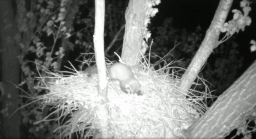 Videofelvételből kivágott kép a parlagi sas fészekbe települt vörös vércse tojásos fészekalját elpusztító nyestről (Felvétel: termeszetfilm.hu)