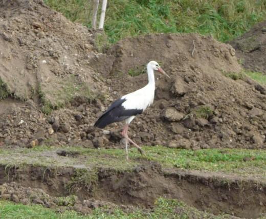 A Pátyon telelő fehér gólya az árokásó gép által kiforgatott földet nézi át (Fotó: Kocsis Zsuzsa).