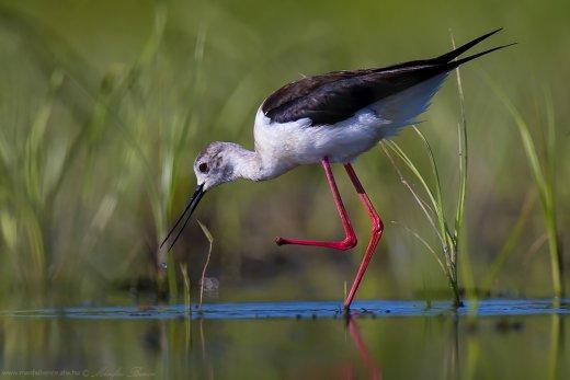Sérült lábú gólyatöcs (Fotó: Mánfai Bence)