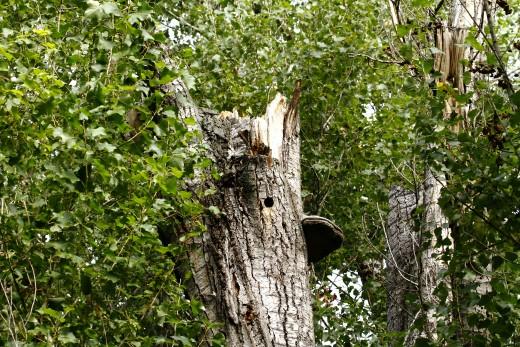Májusban a fák lombkoronája, a törzs és a vastagabb ágak odúi a védett madarak és fészkeik mellett akár denevérek tömegeinek adhatnak otthont. Aki ilyenkor vág ki egy ilyen termetesebb fát, biztos lehet benne, hogy cselekedetével természetvédelmi kárt okoz és állatkínzást is elkövet (Fotó: Orbán Zoltán).