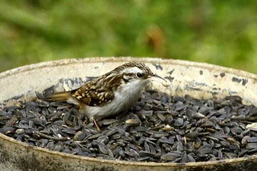 Hegyi fakusz etetőtálcában napraforgómagot eszik (Fotó: Orbán Zoltán).
