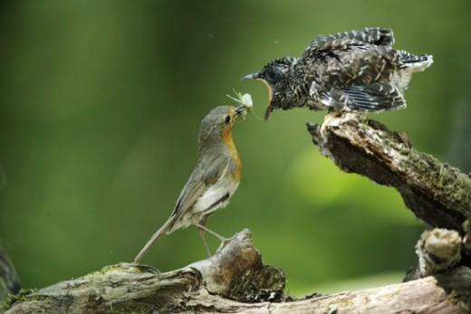 Vörösbegy kakukkfiókát etet. Hazánkban a vörösbegy a kakukk leggyakoribb gazdamadara (Fotó: MME archívum).
