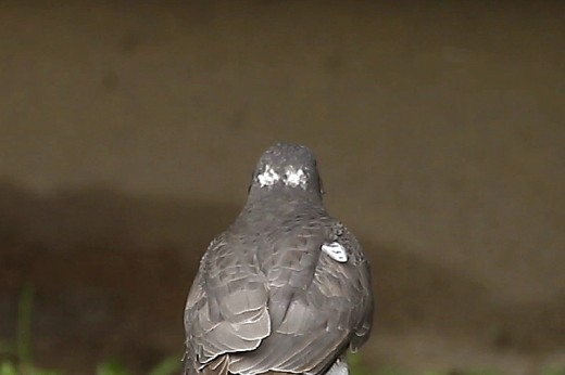 Karvaly tarkójának ál-szemfoltjai / False bird face [two faces bird] - Eurasian Sparrowhawk, Accipiter nisus (Fotó/Photo: Orbán Zoltán/Zoltán Orbán).