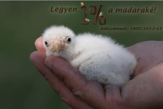 A személyi jövedelemadó 1%-ának felajánlása az MME madárvédelmi munkájának egyik legfontosabb támogatási formája. A képen kékvércse-fióka látható (Fotó: Orbán Zoltán).