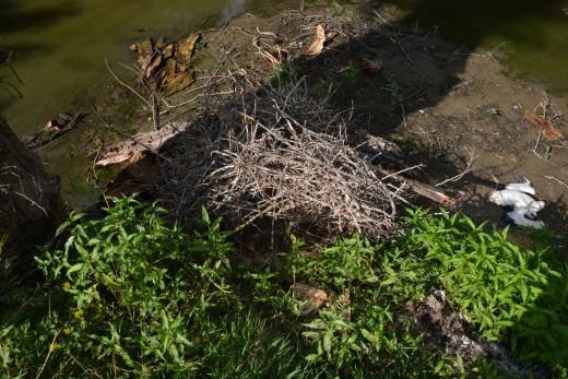 Az Ipoly partjánál lévő leborult gólyafészek és az egyik elpusztult fióka (Fotó: Papp Ferenc).
