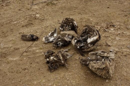Levert molnárfecske fészkek a madarak tetemeivel (Fotó: Orbán Zoltán).