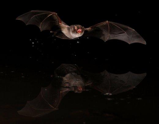 Ivó hosszúszárnyú denevér (Fotó: Estók P.)