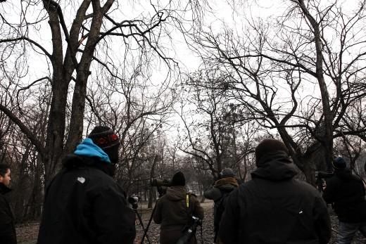 Naumann-rigó keresése a Népligetben a megtalálás másnapján, 2016. január 1-jén a hajnali fagyban (Fotó: Orbán Zoltán).