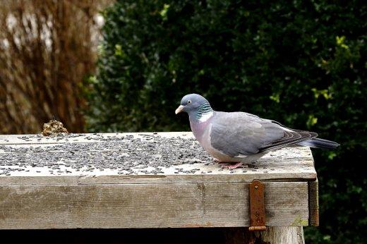 Termete miatt is az egyik leglátványosabb kora tavaszi visszatérő az örvös galamb (Fotó: Orbán Zoltán)