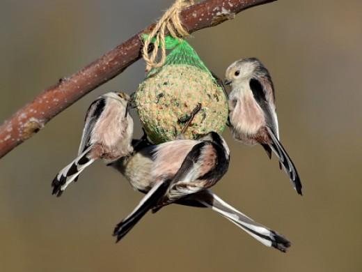 Az őszapók télen csapatokban jelentek meg a cinkególyon mostanra inkább párokra szakadoztak, hogy fészket építsenek (Fotó: Papp László).