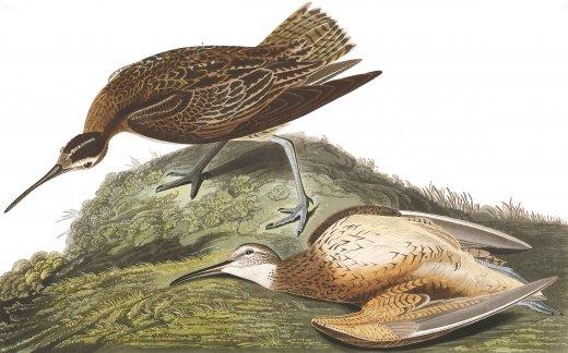 John James Audubon rajza az eszkimópólingról