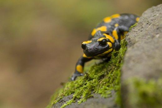 Foltos szalamandra (fotó: Altmann Péter)