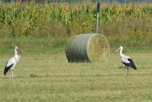 Svéd gyűrűs fehér gólya (Fotó: Papp Ferenc)