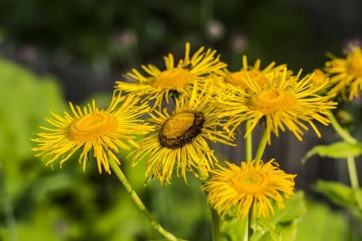 Teleki-virág (Fotó: Demeter Károly)