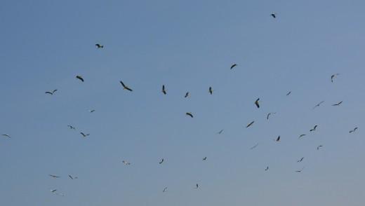 Termikelő gólyacsapat Ludányhalászi felett