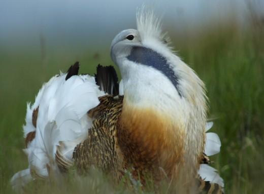 A dürgő túzok kakas az MME jelkép madara, a logónkban stilizáltan ez a madár látható (Fotó: Motkó Béla).