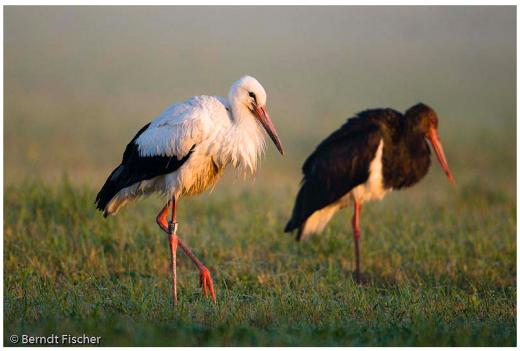 Fehér- és fekete gólya (Fotó: Berndt Fischer)