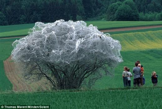 Svájcban fotózták ezt az elszigetelten álló fát, melyet teljesen beszőttek az apró hernyók (Fotó: Thomas Marent).