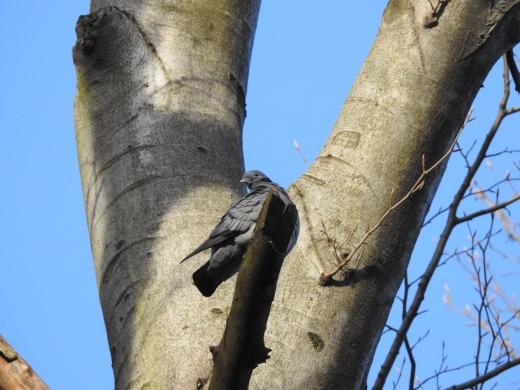Kék galamb (Fotó: Lovranits Júlia).