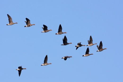 """""""V"""" alakban repülő lúd csapat (Fotó: Csonka Péter)."""