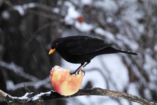 Fekete rigó alma etetőn (Fotó: Orbán Zoltán).