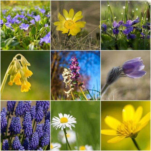 Kisebb válogatás a most nyíló fajokból: meténg, tavaszi hérics, ibolya, tavaszi kankalin, odvas keltike, leánykökörcsin, fürtös gyöngyike, százszorszép, salátaboglárka. (Fotók: MME archívum, Alex Hyde, drhauschka.com, gombamania.blogspot.hu, Ross Hoddinot).