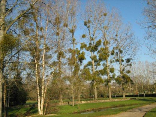 Ezeken a fákon már elég sok fagyöngy él (Forrás: www.gardeningknowhow.com)