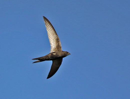 A sarlósfecske jellegzetes, sarló alakú szárnyáról és gyors röptéről könnyen felismerhető (Fotó: Gyimesi László).