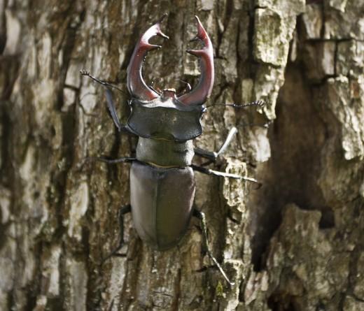 Nagy szarvasbogár hím (Fotó: Nagy Róbert).