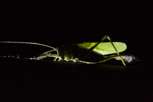 Zöld lombszöcske nőstény (Fotó: Göcző Gabriella).