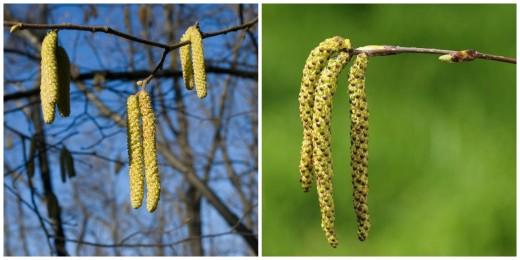 A mogyoró (balra) és a nyír (jobbra) barkája (Fotók: bal - Göcző Gabriella, jobb - www.aphotoflora.com ).
