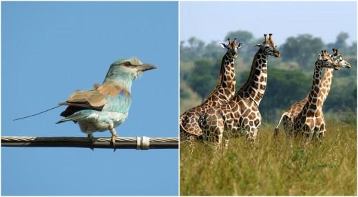 Jeladós szalakóta (Fotó: Csibrány Balázs) és zsiráfok (Forrás: Animals Time).