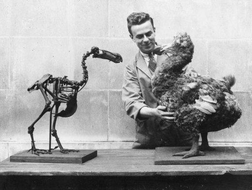 Dodó csontváz és rekonstruált modell, a képen jól érzékelhető a madár mérete. Körülbelül 1 m magasra nőtt, és 10-17 kg volt a súlya. (Forrás: www.thoughtco.com).