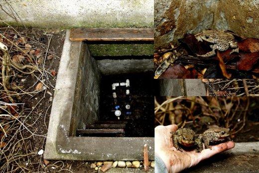 A vízóraaknák sajnálatos módon békacsapdaként is működnek, ahonnan a bajba jutott állatok gyorsan és egyszerűen kimenekíthetőek (Fotók: Orbán Zoltán)