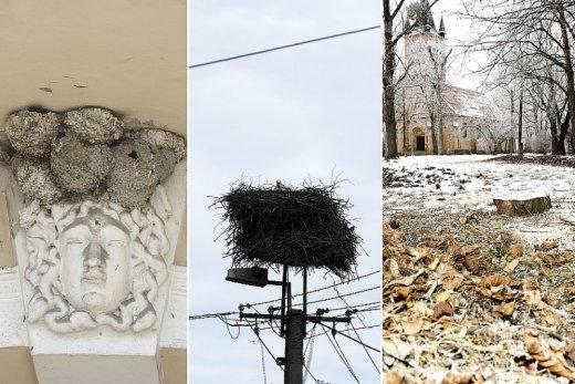 Fecskefészkek engedélyezett eltávolítása, fehérgólya-fészkek biztonságossá tétele és lombfakadás előtti fakivágás – a települések három leggyakoribb, évről évre ismétlődő természetvédelmi problémája (Fotók: Orbán Zoltán)