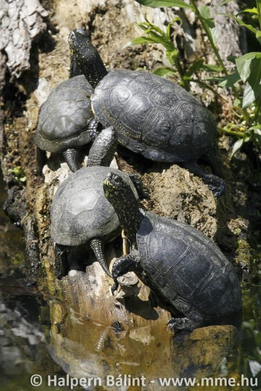 Napfürdőző mocsári teknősök (fotó: Halpern Bálint)
