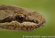 Gyakran tévesztik össze a viperákkal, ellentétben azonban veszélyes rokonaikkal, pupillájuk kerek