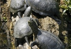 Napozó mocsári teknősök