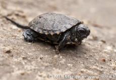 Fészekből frissen kimászott mocsári teknős.