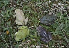 Zöld levelibéka négyféle színváltozata