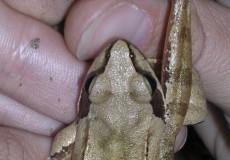 Erdei béka lába hosszabb, mint a hasonló fajoké.