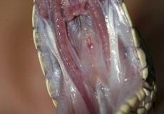 Rákosi vipera szájpadlása