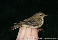 Gyűrűzéskor kézben tartott madár