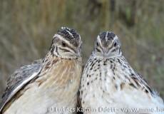 Gyűrűzéskor kézben tartott madarak